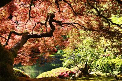 Japanese Maple in the Japanese Gardens in Portland, Oregon by pdb1