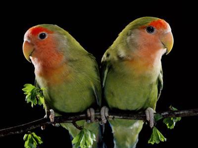 Peach-Faced Lovebirds Two