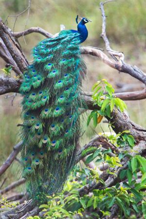 Peacock Perching on a Branch, Kanha National Park, Madhya Pradesh, India