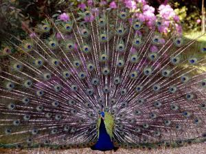 Peacock Showing off His Feathers at the Claremont Landscape Garden, Surrey, July 1986