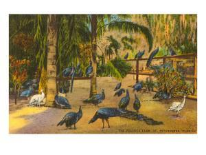 Peacocks, St. Petersburg, Florida