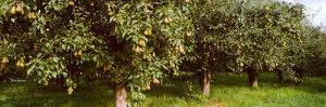 Pear Trees in an Orchard, Hood River, Oregon, USA
