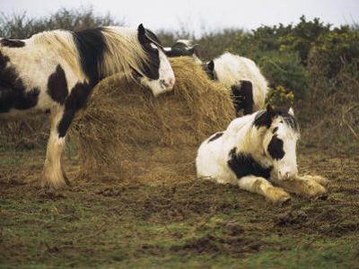 Piebald Welsh Ponies around a Bale of Hay, Lydstep Point, Pembrokeshire, Wales, United Kingdom by Pearl Bucknall