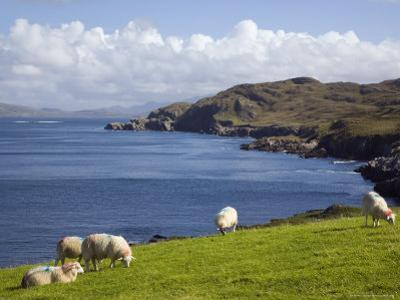 Sheep Grazing by Rugged Coastline of Coulagh Bay on Ring of Beara Tourist Route by Pearl Bucknall