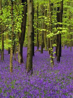 Bluebells in a Beech Wood, West Stoke, West Sussex, England, UK by Pearl Bucknell