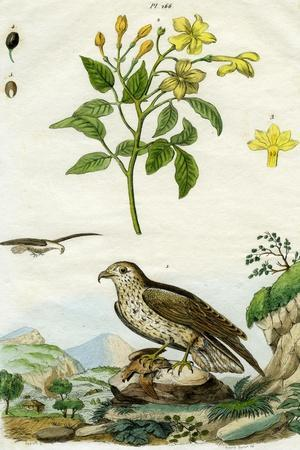 Jasmine and Short-Toed Eagle, 18th or 19th Century