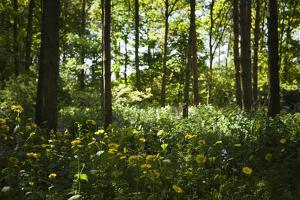 Yellow Doronicum Pardalianches, in the Dappled Light That Filters Through the Woodland Trees Canopy by Pedro Silmon