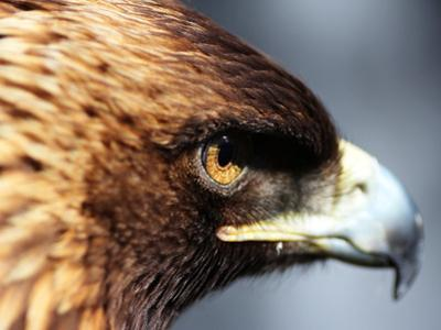Golden Eagle portrait in California by Peggy Hankins