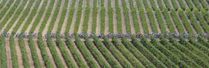 Peloton Rides Through Vineyards in Third Stage of Tour de France, July 6, 2009