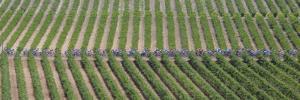 Peloton Rides Through Vineyards in Third Stage of Tour de France, July 6, 2009