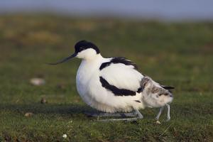 Avocet (Recurvirostra Avosetta) with Chick, Texel, Netherlands, May 2009 by Peltomäki