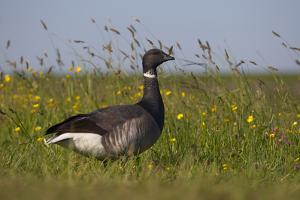 Brent Goose (Branta Bernicla) Standing in Field with Yellow Flowers, Texel, Netherlands, May 2009 by Peltomäki