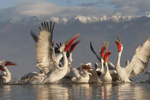 Dalmatian Pelicans (Pelecanus Crispus) Feeding on Thrown Fish, Lake Kerkini, Macedonia, Greece by Peltomäki