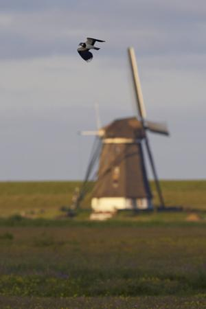 Lapwing (Vanellus Vanellus) Flying Past Windmill, Texel, Netherlands, May 2009