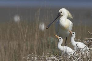 Spoonbill (Platalea Leucorodia) at Nest with Two Chicks, Texel, Netherlands, May 2009 by Peltomäki