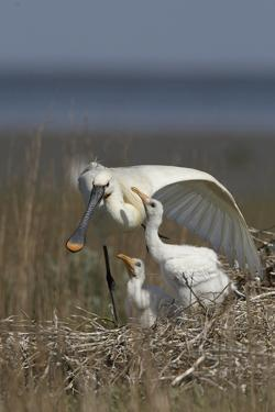 Spoonbill (Platalea Leucorodia) Stretching Wing at Nest with Two Chicks, Texel, Netherlands, May by Peltomäki