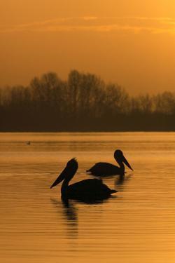 Two Dalmatian Pelicans (Pelecanus Crispus) on Lake Kerkini at Sunrise, Macedonia, Greece by Peltomäki