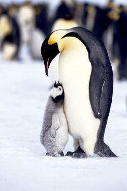 Penguin, Maternal Moment