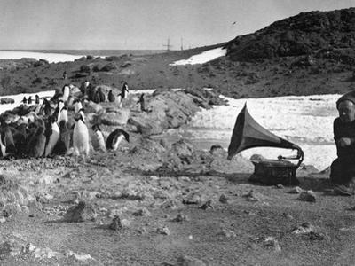 Penguins and Gramophone