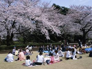 People Partying Under Cherry Blossoms, Shinjuku Park, Shinjuku, Tokyo, Honshu, Japan