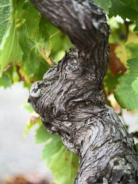 Branch of Old Vine with Gnarled Bark, Collioure, Languedoc-Roussillon, France by Per Karlsson