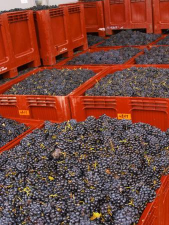 Gamay Grapes at Georges Duboeuf Winery, Romaneche-Thorins, Beaujolais, Bourgogne, France by Per Karlsson
