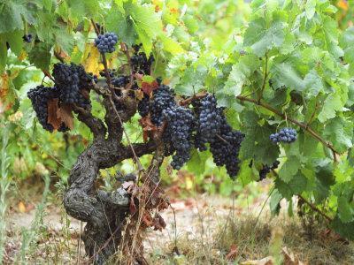 Ripe Grapes in the Vineyard, Domaine Pech-Redon, Coteaux Du Languedoc La Clape