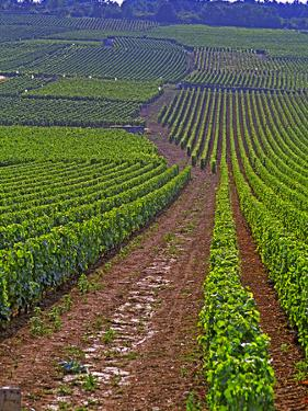 Vines in Grand Cru Vineyards, Romanee Conti and Richebourg Leading to La Romanee, Vosne by Per Karlsson