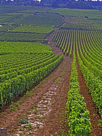 Vines in Grand Cru Vineyards, Romanee Conti and Richebourg Leading to La Romanee, Vosne by Per Karlsson