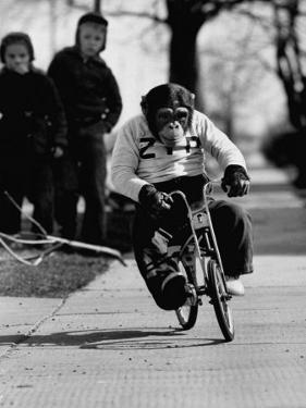 Performing Chimpanzee Zippy Riding a Bike