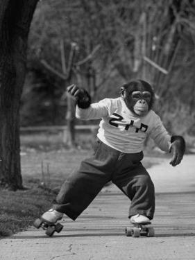 Performing Chimpanzee Zippy Riding on Skates