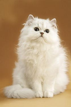 Persian Chinchilla Cat Long-Haired