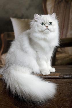 Persian Chinchilla