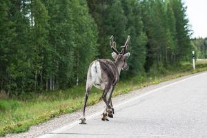 Reindeer on the Road. Northern Finland by perszing1982