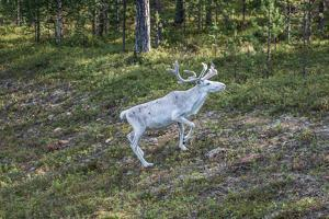 Reindeer Stag with Exceptionally Long Antlers by perszing1982