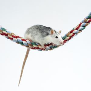 Pet Rat Balancing on Rope