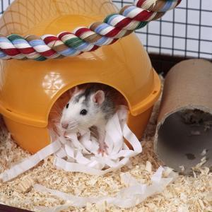 Pet Rat in Bed in Cage