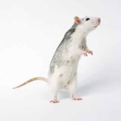 https://imgc.allpostersimages.com/img/posters/pet-rat-standing-on-hind-legs_u-L-Q106G780.jpg?p=0
