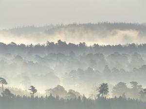 Ancient Pine Forest Emerging from Dawn Mist, Strathspey, Scotland, UK by Pete Cairns