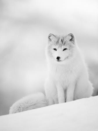 Arctic Fox Male Portrait, Norway