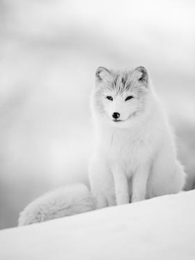 Arctic Fox Male Portrait, Norway by Pete Cairns