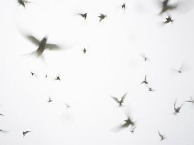 Arctic Terns Flying Against White Sky, Motion Blur Abstract, Isle of May, Scotland, UK