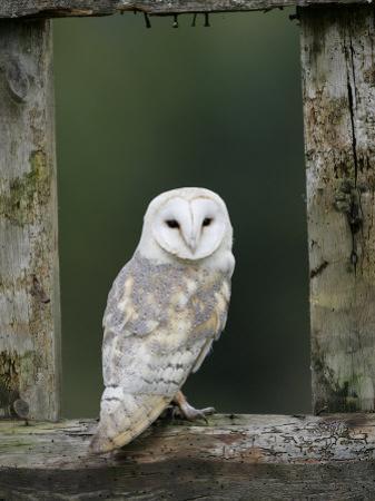 Barn Owl, in Old Farm Building Window, Scotland, UK Cairngorms National Park