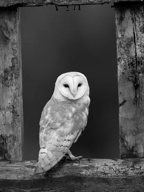 Barn Owl, in Old Farm Building Window, Scotland, UK Cairngorms National Park by Pete Cairns