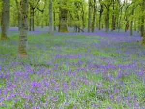 Bluebells Flowering in Beech Wood Perthshire, Scotland, UK by Pete Cairns