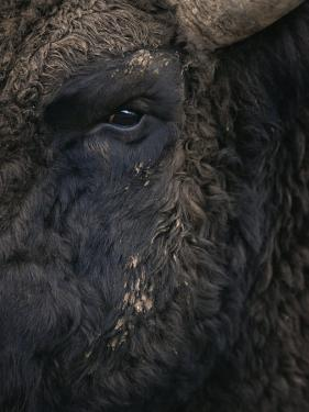 Close-Up Face of European Bison {Bison Bonasus) by Pete Cairns