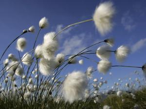 Cotton Grass, Blowing in Wind Against Blue Sky, Norway by Pete Cairns