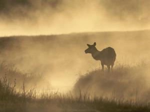 Elk / Red Deer Female in Mist at Dawn, Yellowstone National Park, Wy, USA, North America by Pete Cairns