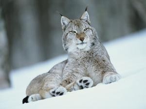 European Lynx in Snow, Norway by Pete Cairns