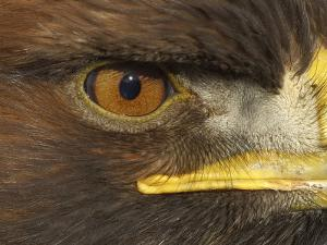 Golden Eagle Adult Portrait, Close up of Eye, Cairngorms National Park, Scotland, UK by Pete Cairns